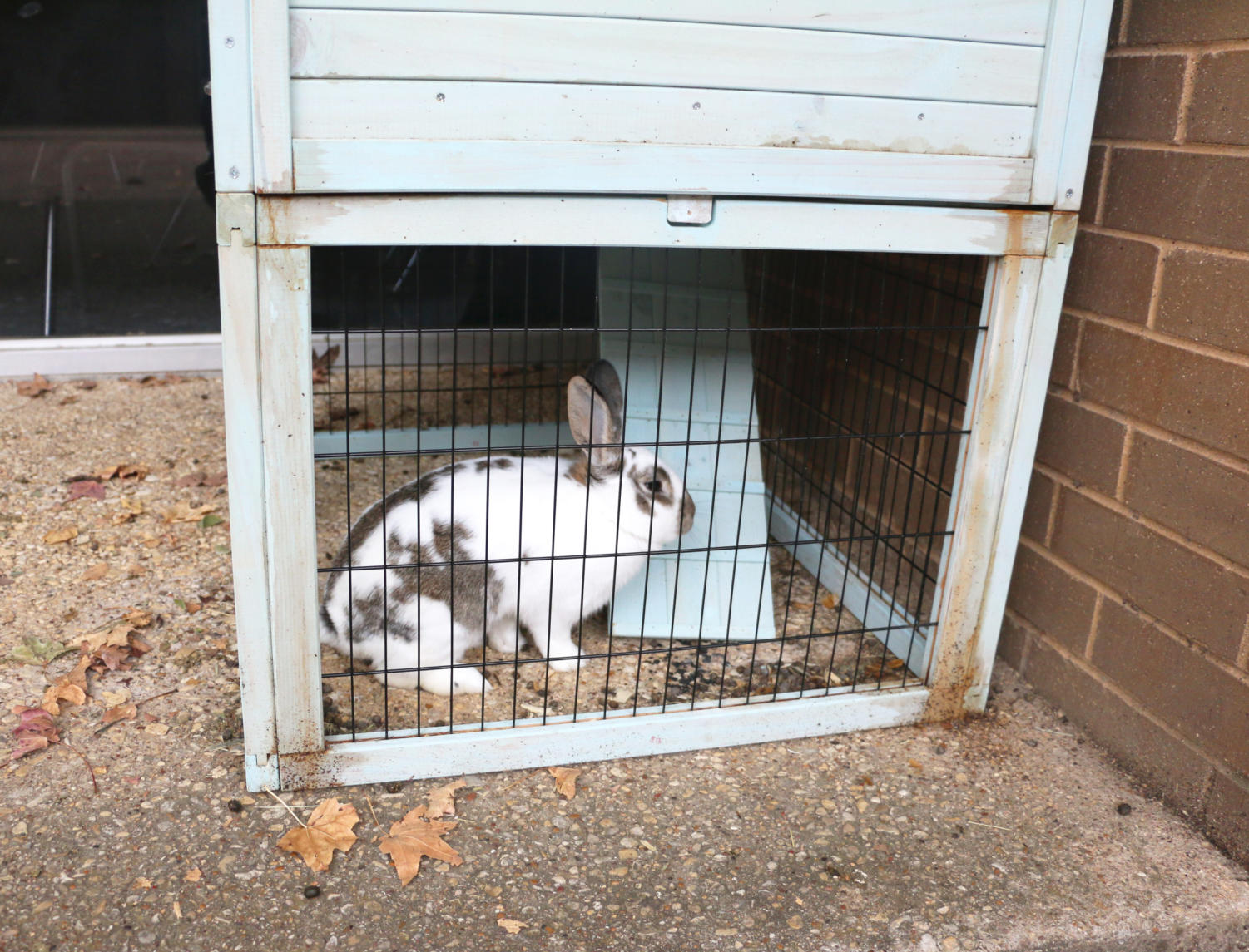 ALL+EARS%21%3A+A+bunny+that+belongs+to+the+small+animal+management+program%2C+rests+in+his+cage+Nov.+9+outside+room+918.+Agriculture+teacher+Keith+Gray%2C+who+was+born+on+a+farm%2C+said+students+take+the+bunny+home+to+learn+how+to+care+for+the+animal+and+he+takes+the+bunny+home+over+the+summer.+%E2%80%9CThough+I+like+to+joke+around+with+the+students+about+eating+the+bunny+as+stew%2C%E2%80%9D+he+said.+%E2%80%9CWhen+they+ask+what+is+going+to+happen+to+the+bunny.%E2%80%9D+